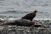 Feasting on Seal
