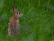 An Upstanding Rabbit