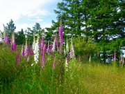 Foxglove and grassy meadow