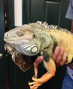 Forest the Green Iguana