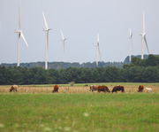 Turbines and cattle viewed from Conrad rd.Ludington Michigan