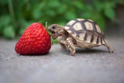Passive candidates are like giant strawberries.  They must be approached with stealth; respect and a well-placed bite (sales pitch).