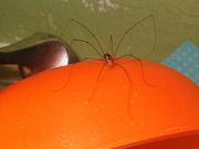 great pic of great daddy long legged spider