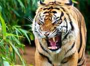 Sumatran-Tiger-by-Will-Dupuis