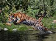 Tiger-attack-by-Helmut-Lager