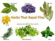 Herbs that Repel Flys