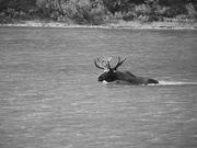 Big moose cruising the lake