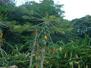 Papayas in our yard