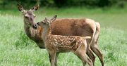 Hind-and-Calf