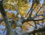 West Himalayan Birch (Betula utilis jaquemontii) in Park