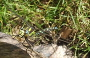 Southern Hawker male (Aeshna cyanea) in Park by pond