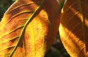 Snowy Mespil leaves, (Amelanchier laevis). Oct 24 '08