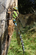 Southern Hawker male (Aeshna cyanea) by Park pond