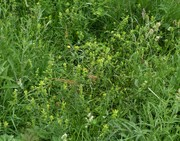 Yellow Rattle spreading well in the perennial flower meadow, June 11th '18