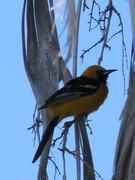 Yellow bird in my back yard Spring 2009