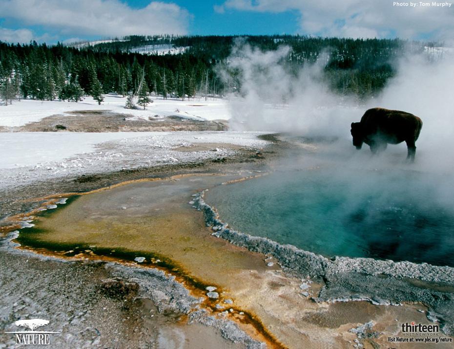nature beautiful - yellow stone bison