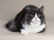 Turin Caledonia Cat