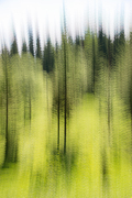 Pines and Aspens - © Larry Citra