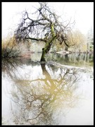 Spilling Willow