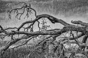 Fallen giant in the mist. Burgoyne valley.