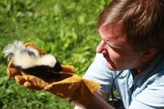 Chris with orphaned baby skunk