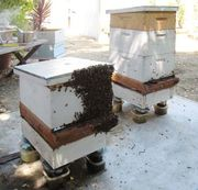 Hive Boiling Over ready to swarm