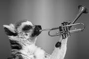 lemur-1602313_1920