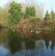 Typical english seagull pond