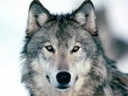 Groupe de protection du Loup