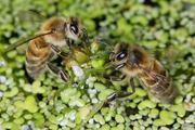 L'abeille et la bio-diversité, pour que la vie continue