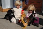 Chicken Lewie & the Last Day of Farmers' Market