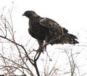 """Hello"" beautiful brown Eagle!!"