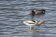 Avocet and Friend