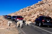 Traffic jam on Mount Evans