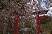 Sendai Sakura