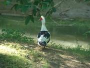 Mr Quacker-my duck