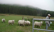 sheep in