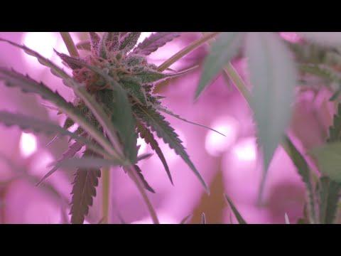 Seedo Farm - The automated Cannabis farm