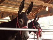 Yearlings Sasafras and Cinder waiting to show
