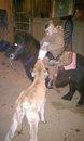 Callie feeding calf