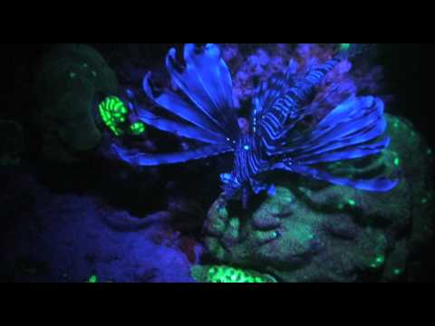 Reef Night Dives Fluorescence Corals