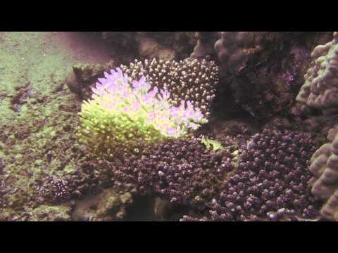 CoralDiseasesHiTecFluorescence.mov