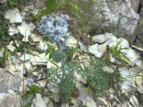 Petites Fleurs des Pyrénées