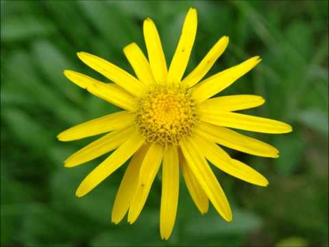 Arnica Montana - Sweet Scented South