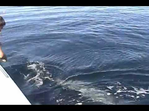 Une baleine dans un filet de pêche !