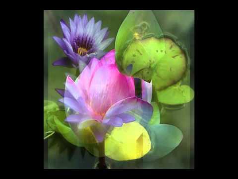 Lotus  et douces pensées
