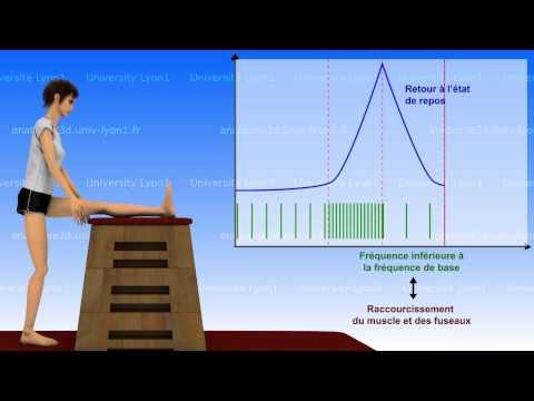 La souplesse : bases neurophysiologiques (1/2)