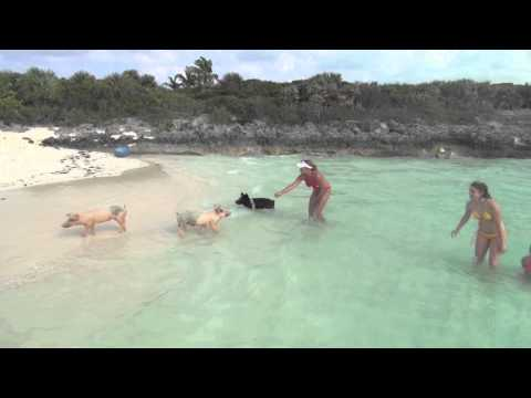Swimming Pigs & Piglets in Exuma Bahamas