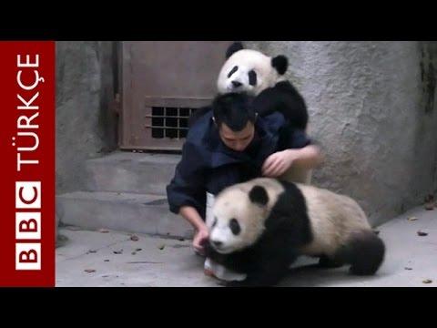 Un soigneur s'approche de deux pandas pour leur administrer un remède. Vous allez adorer la suite !