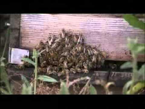 Si l'abeille disparaissait du globe, l'homme n'aurait plus que quatre années à vivre